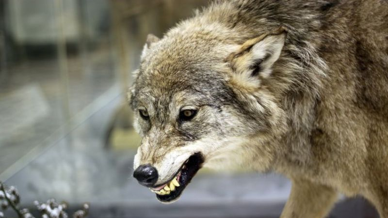 What It Takes To Survive When Meeting The Wolves