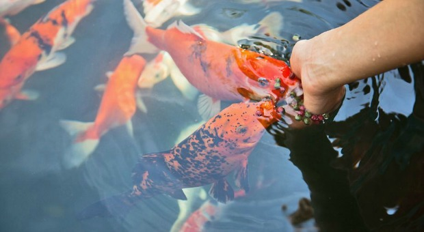 How to Grow Fish in a Tank for Food